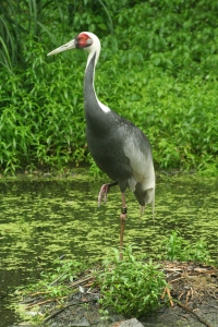 Crane; Bronx Zoo, New york, USA