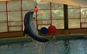 A show by dolphin, the jump was more than 6ft. Dolphin, baltimore qaurium, baltimore, USA