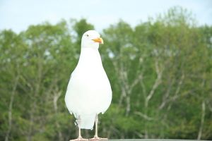 A seagul rests on top of car!